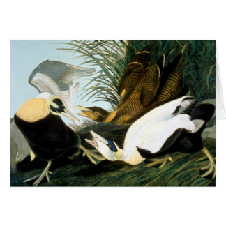 Audubon: Eider Duck Card