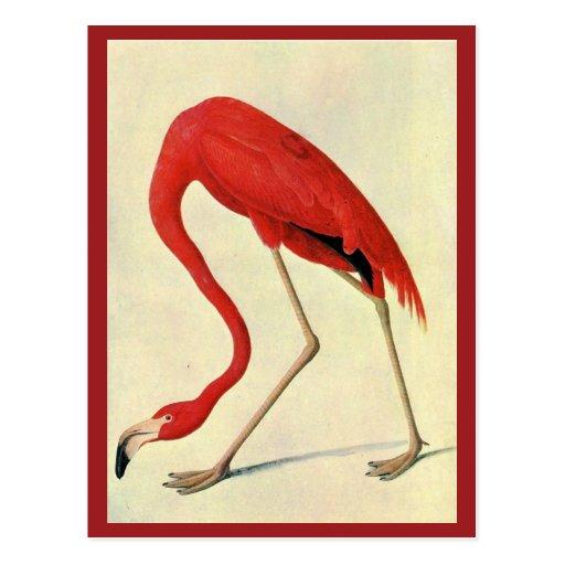 Audubon Flamingo Postcard