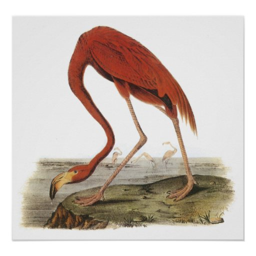 Audubon Flamingo Poster