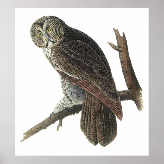 Audubon Great Grey Owl Poster or Print