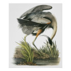Audubon Heron Poster