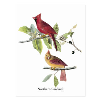 Audubon Northern Cardinal Postcard