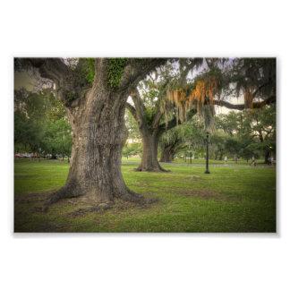 Audubon Park Live Oaks Photographic Print