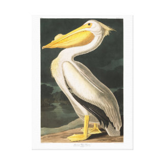 Audubon Plate 311 American White Pelican Stretched Canvas Print