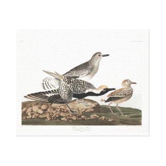 Audubon Plate 334 Black-bellied Plover Canvas Print