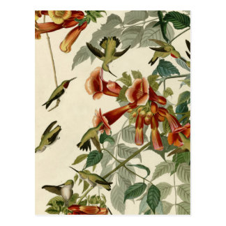 Audubon Ruby Throated Hummingbirds Postcard
