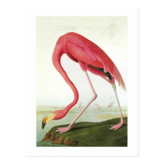 Audubon s Flamingo Postcard