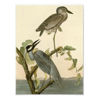Audubon s Vintage Yellow crowned night heron paint Photo Print