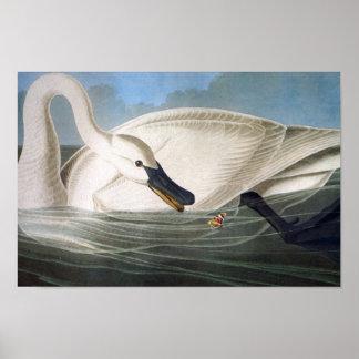 Audubon Trumpeter Swan Print