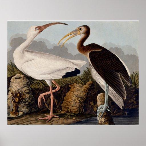 Audubon White Ibis Posters