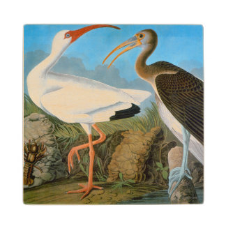Audubon: White Ibis Wood Coaster