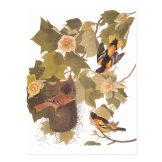 Audubon's Baltimore Oriole Birds in Poplar Tree Postcard