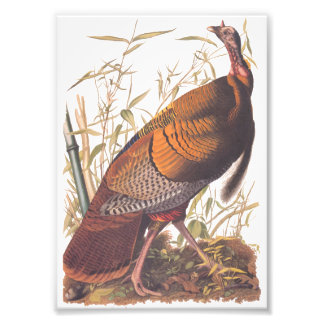 Audubon's Birds of America Wild Turkey Autumn Bird Photo