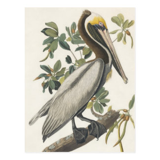 Audubon's Brown Pelican Postcard