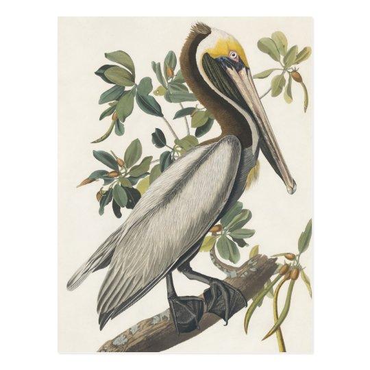 Audubon's Brown Pelican Postcard