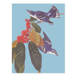 Audubon's Cerulean Warbler Bird Pair with Berries Postcard