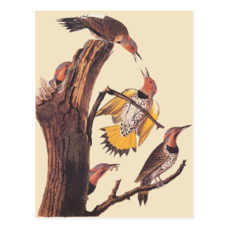 Audubon's Golden-Winged Woodpecker Family of Birds Postcard