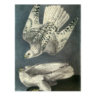 Audubon's Gyrfalcon Postcard