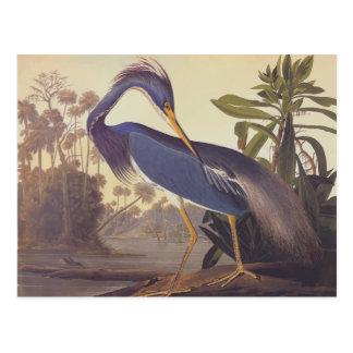 Audubon's Louisiana Heron or Tricolored Heron Postcard