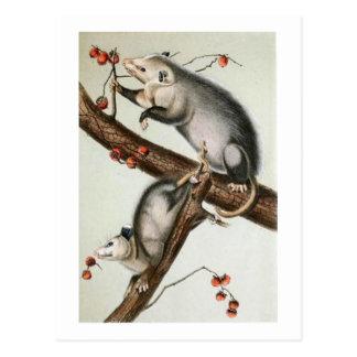 Audubon's Oppossums Post Card