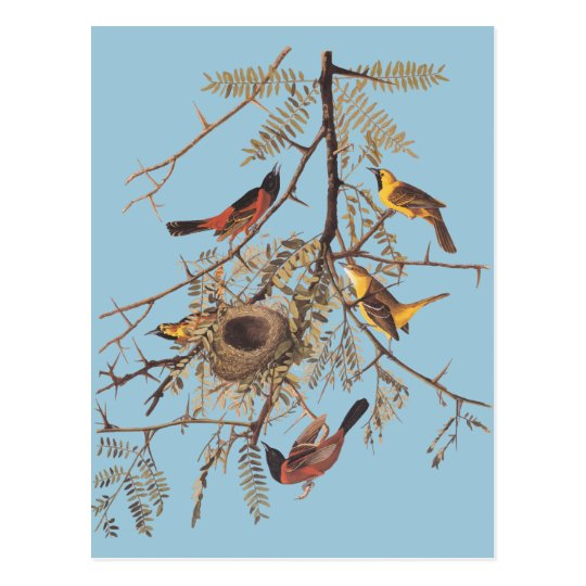 Audubon's Orchard Oriole in Honey Locust Postcard