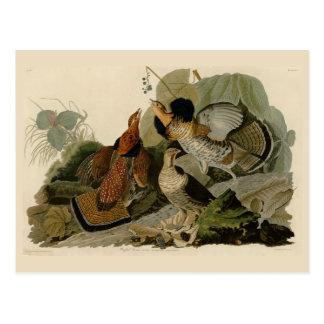Audubon's Painting of a trio of Ruffed Grouse Postcard