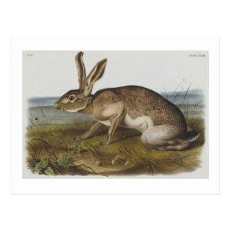 Audubon's Texian hare Post Card