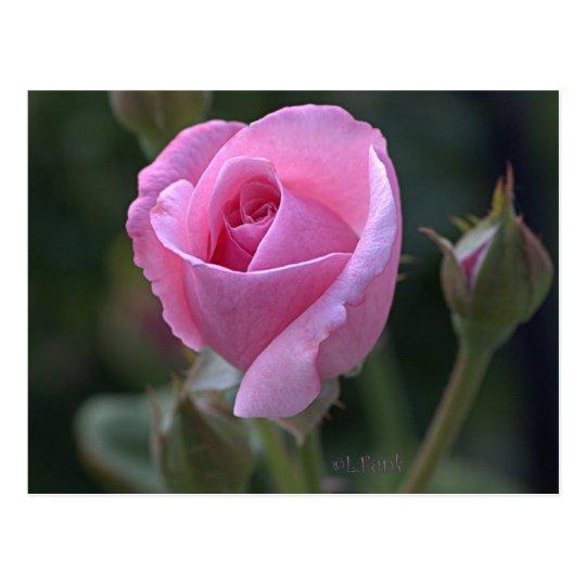 Aunt Dorothy's Pink Rose Postcard