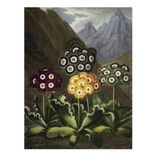 Auriculas from Dr John Robert Thornton s Postcard