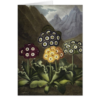 Auriculas from Dr John Robert Thornton's Greeting Card