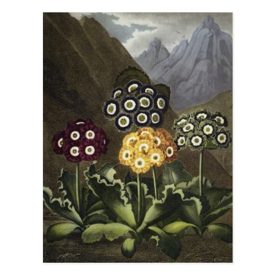 Auriculas from Dr John Robert Thornton's Postcard