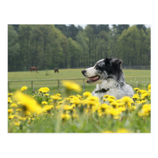 Aussie in buttercups postcard