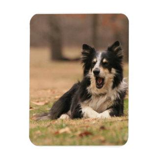 Aussie Shepherd Dog  Flexible Magnet Magnet