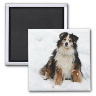 Aussie Shepherd Dog in Snow Square Magnet