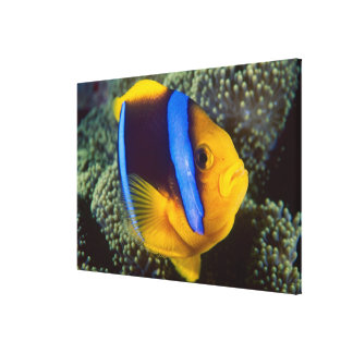 Australia, Great Barrier Reef, Anemonefish Canvas Print