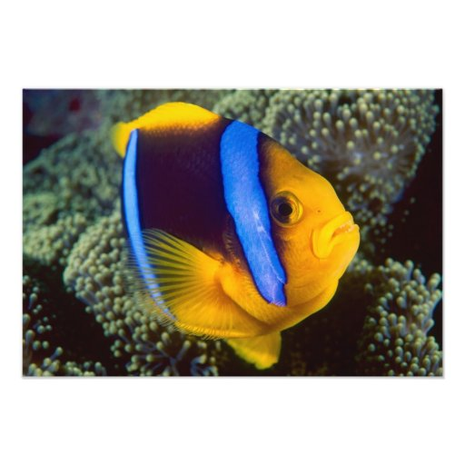 Australia, Great Barrier Reef, Anemonefish Photo
