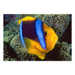 Australia, Great Barrier Reef, Anemonefish Photo Print