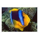 Australia, Great Barrier Reef, Anemonefish Photo Print