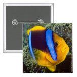 Australia, Great Barrier Reef, Anemonefish Pin