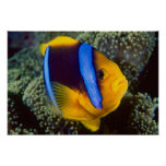 Australia, Great Barrier Reef, Anemonefish Poster