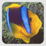 Australia, Great Barrier Reef, Anemonefish Square Sticker