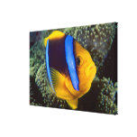 Australia, Great Barrier Reef, Anemonefish Stretched Canvas Print