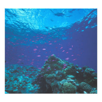 Australia, Great Barrier Reef. Swarming Purple Photo Print