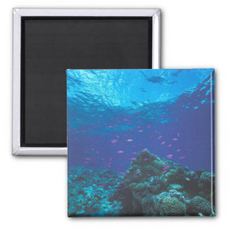 Australia, Great Barrier Reef. Swarming Purple Square Magnet