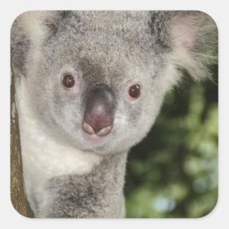 Australia koala bear cute animal square sticker