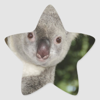 Australia koala bear cute animal star sticker