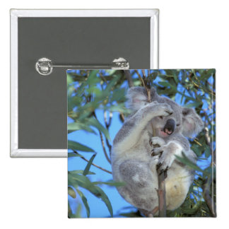 Australia, Koala Phasclarctos Cinereus) 15 Cm Square Badge