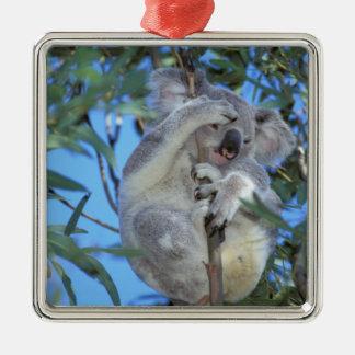 Australia, Koala Phasclarctos Cinereus) Christmas Ornament