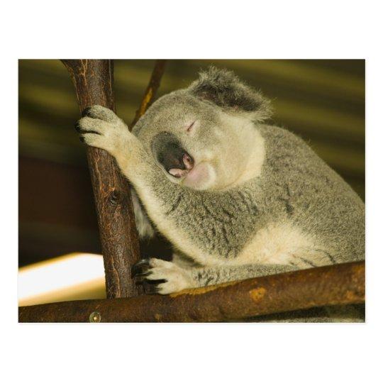 Australia, Queensland, Brisbane. Fig Tree Postcard
