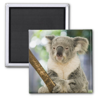 Australia, Queensland, Brisbane, Fig Tree Square Magnet